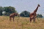 Lavovi i žirafe u Akageri